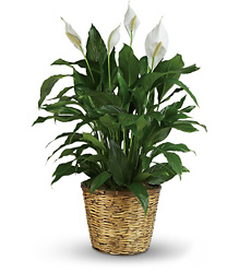 Simply Elegant Spathiphyllum - Large from Mona's Floral Creations, local florist in Tampa, FL