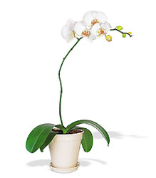 White Phalaenopsis Orchid from Mona's Floral Creations, local florist in Tampa, FL